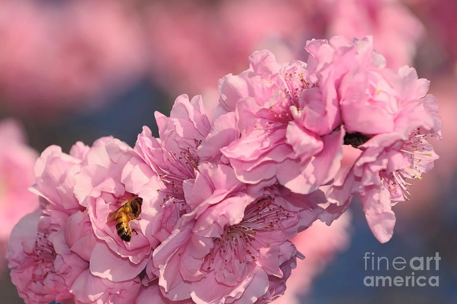 #Bee on Pink #Blossoms by Kaye Menner #Prints #Products for #Sale at >>  https://buff.ly/3gUcKEi pic.twitter.com/VOZAAYvkeA