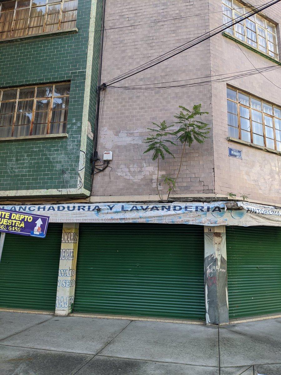 Hoy camino a la oficina descubrí una jacaranda creciendo en la repisa de la fachada de un edificio. Ojalá nunca la corten 💚💚💚 https://t.co/88sLuYbyas