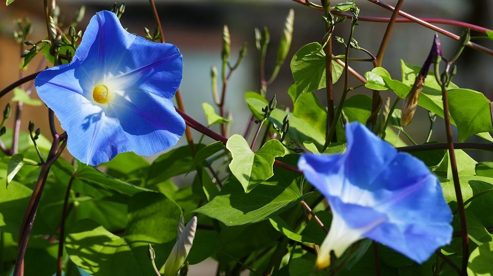 """Toutes les ipomées éclosant ce mois de juillet embaument l'air des landes  * Extrait de mon recueil de haïkus """"Les fleurs de Kyoto"""" * #poeta #poetisa #poet #poetry #poésie #plumedepoète #librodepoemas #lesfleursdekyoto #haïkus #haïku #haijin #haikista #littérature #atramenta https://t.co/fky6hwNoI2"""