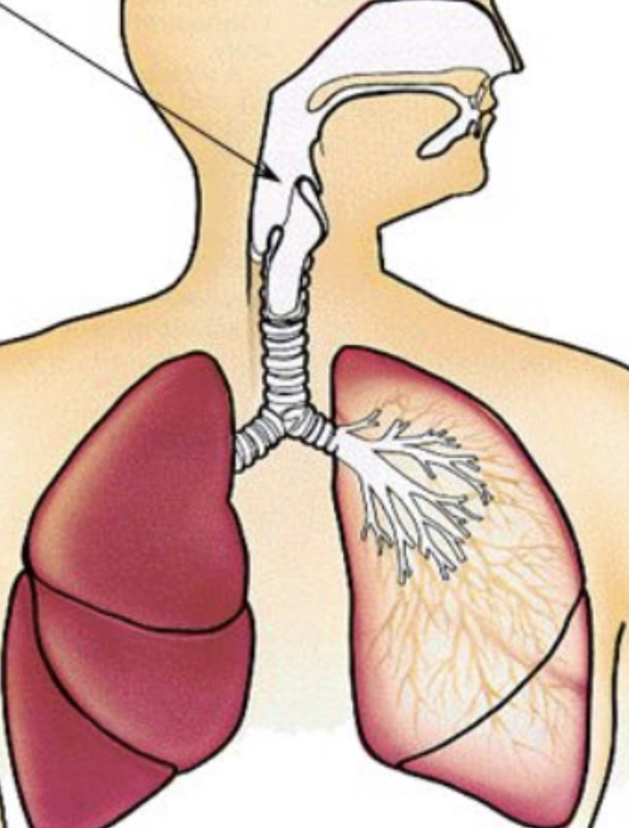 (3) Take a restful 12 breaths a minute, and you are breathing in 1200ml of oxygen a minute (that's 100ml x 12 breaths) . However, all that you breathe isn't useful. The last 100ml you breathe never gets to the lungs. It's in your throat and windpipe.