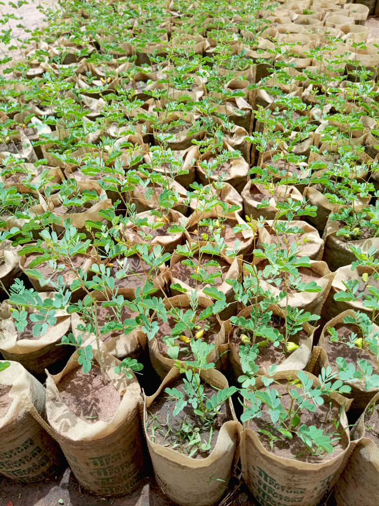 Each tree seed is planted in a tree sack & grows into a seedling in a nursery. When it's ready to be outplanted, these biodegradable sacks go right into the ground & the material breaks down over time as the seedling continues to grow and thrive.  http://bit.ly/2NQKjulpic.twitter.com/Jnw12blTuQ