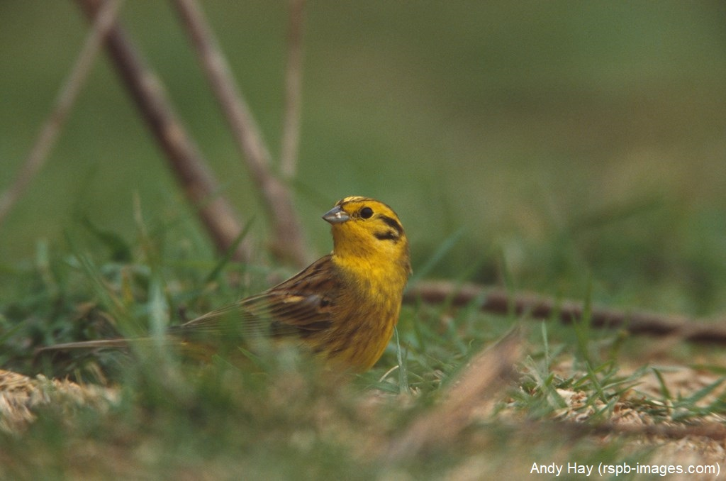 Male yellowhammers have a bright yellow head and underparts, brown back streaked with black, and chestnut rump. Female yellowhammers have more pale yellow underparts and less yellow on the head bit.ly/2W62dxQ