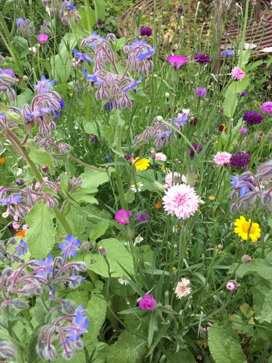 Here's a section of my wild flower patch, seeds were a birthday present from @alimeeru 😍