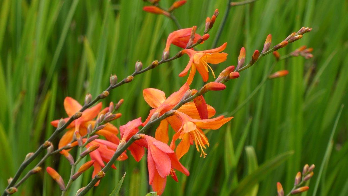 ヒメヒオウギズイセン(姫檜扇水仙)綺麗ですが繁殖力の強い外来種です。佐賀県では移入規制種に指定されており栽培禁止だそうです。
