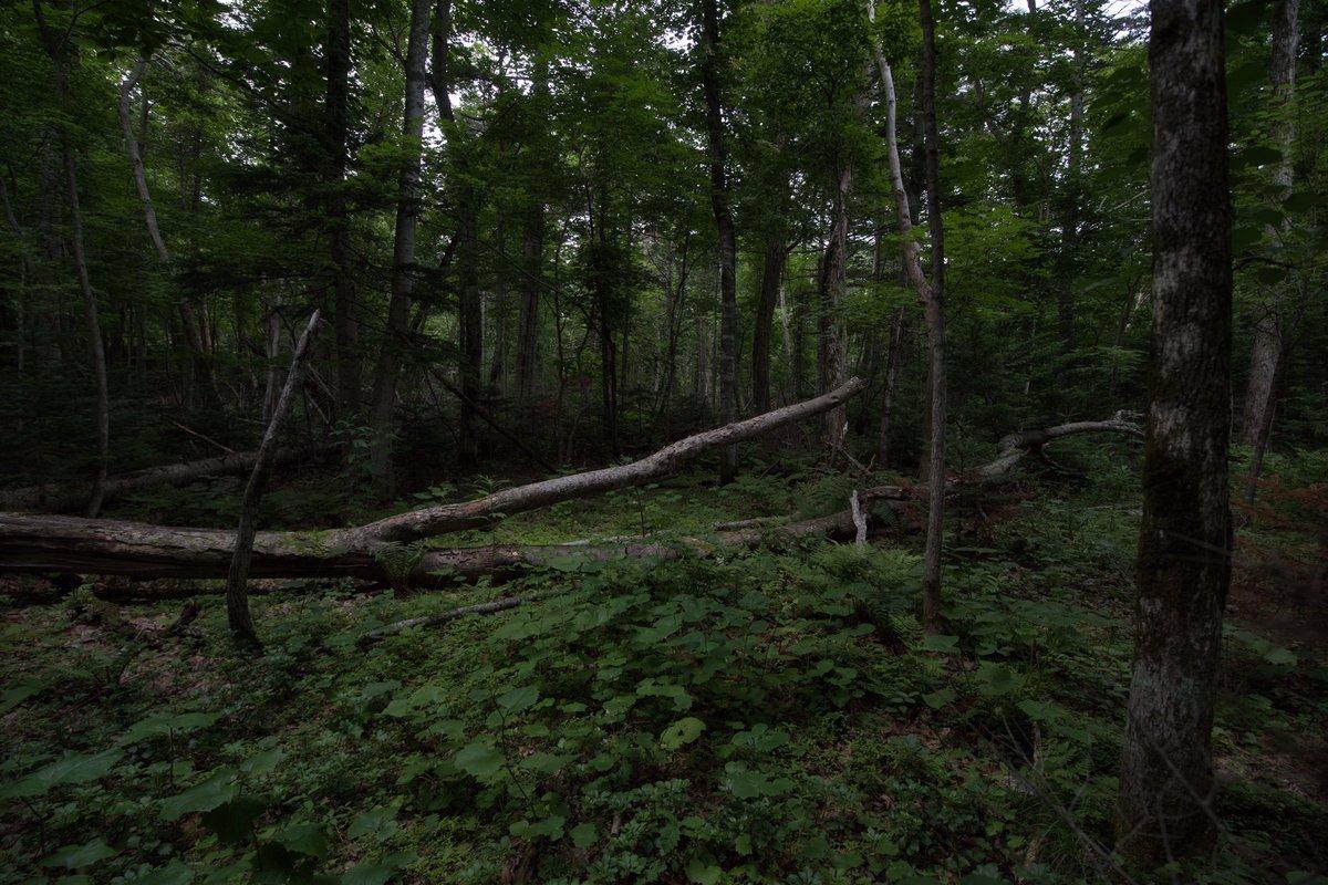 GARDEN 朝の森は、脳を覚醒させてくれる。 森の香りと、鳥たちの歌。 時々聞こえてくる鹿の鳴き声。 露出した肌をめがけてやってくる蚊... #写真好きな人と繋がりがたい  #写真撮っている人と繋がりたい  #ファインダー越しの私の世界  #森の写真 #お気に入りの森 https://t.co/UlWKVHrdcI