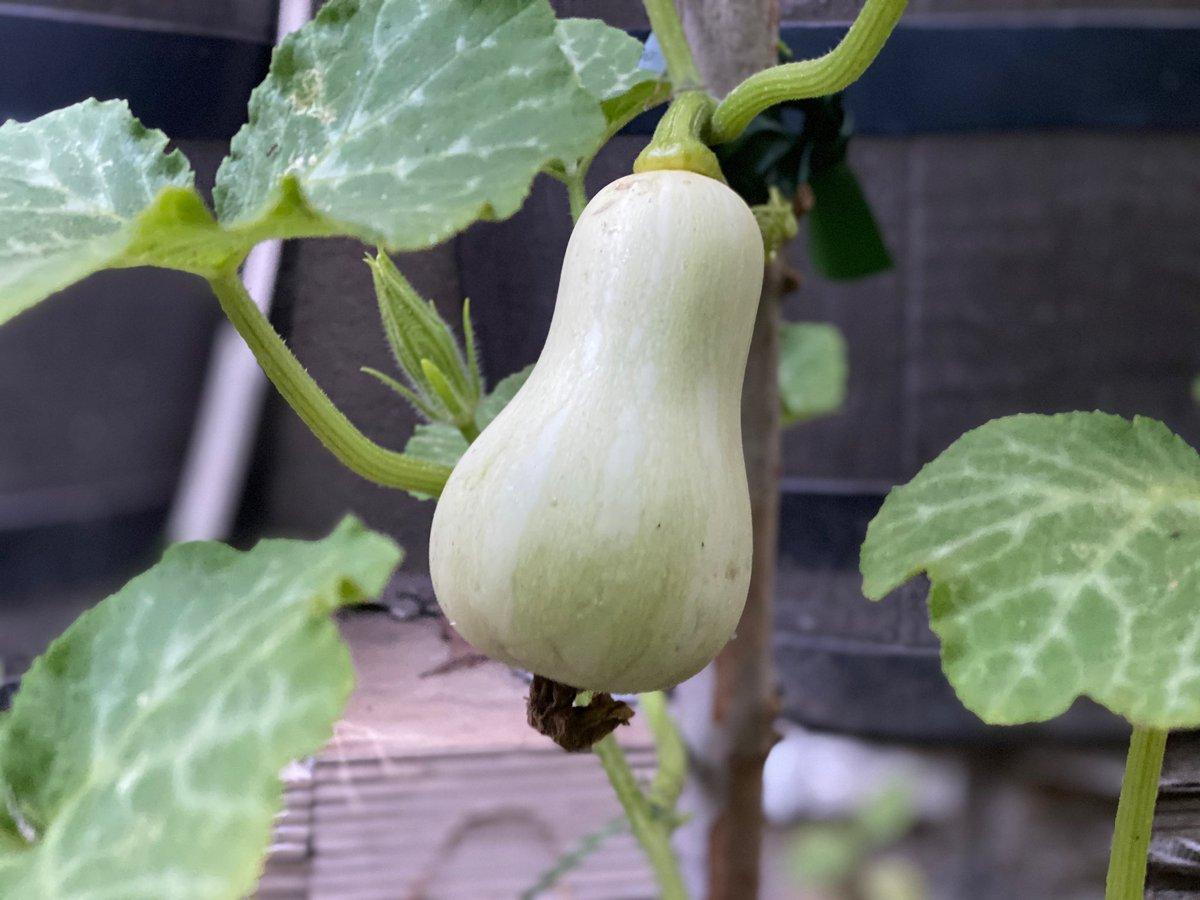 Butternut Squash growing fast #Garden #Gardening #Permaculture #Gardenlife #GardenInspiration #Organic #OrganicGardening #OrganicFood #GardeningLife  #VegetableGarden #Veggies #GrowYourOwnFood #GrowYourOwn #Sustainable  #Sustainability  #SustainableLiving #FarmToTable #Seedspic.twitter.com/szdFFqeHTy