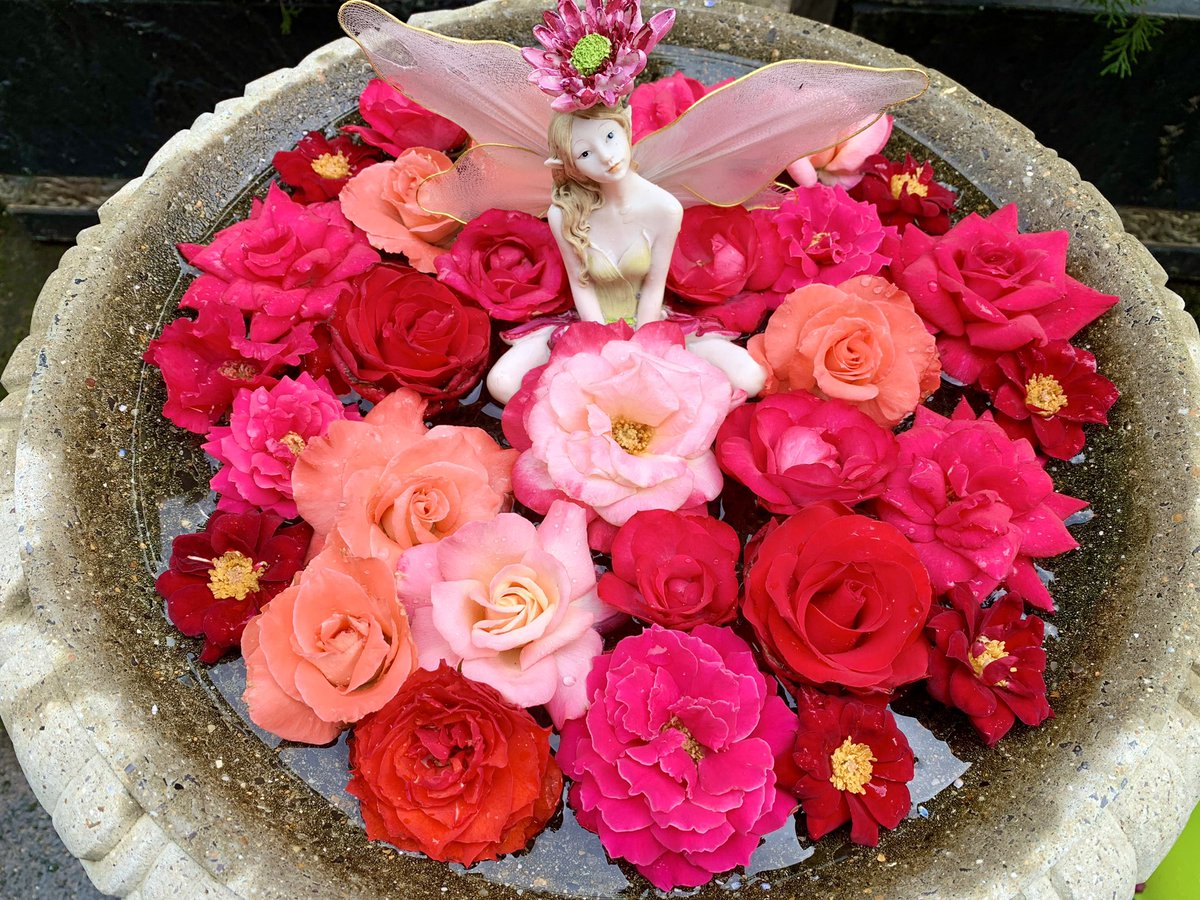 雨が止んだので、バードバスに浮かべているお花を入れ替えました🌹期間限定エリアのため現在はクローズしている「ときめきガーデン」に人知れず咲いていたバラを集めてみました
