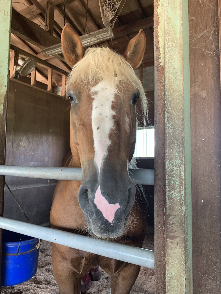 【馬っこ引退馬情報】🌸セトノケンブチ🌸リトレーニングに来ていたケンブチくん。去勢手術も終わり傷口の経過も良好なのでいよいよ新天地の群馬に今週出発します😊✨群馬では観光で馬車を引きます😆とても可愛いく優しいケンブチくんは、きっと大人気になりますね💕頑張れ