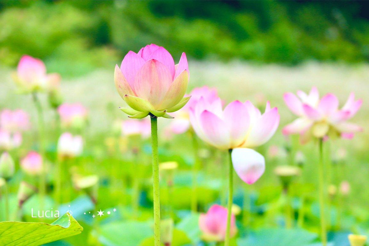 満開の蓮の花たち⋆*❁*⋆ฺ。*𓏲˒˒✩.゚今日もありがとう✩.゚𓏲˒˒やさしい夕べを࿐⋆꙳𖤐˒˒*