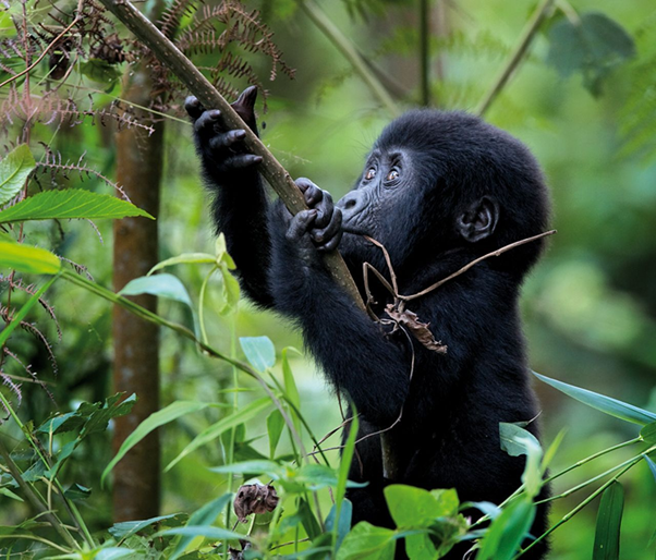 This little fellow is no doubt still eating leaves & playing in his way.  #tourtheplanet #travel #tour #tourist #tourism #uganda #ugandasafari #ugandatravel #gorillatrekking #gorillasafari #combinedtours #gorillatracking #bwindipark #bwindinationalpark https://t.co/6QUWRtgN2k