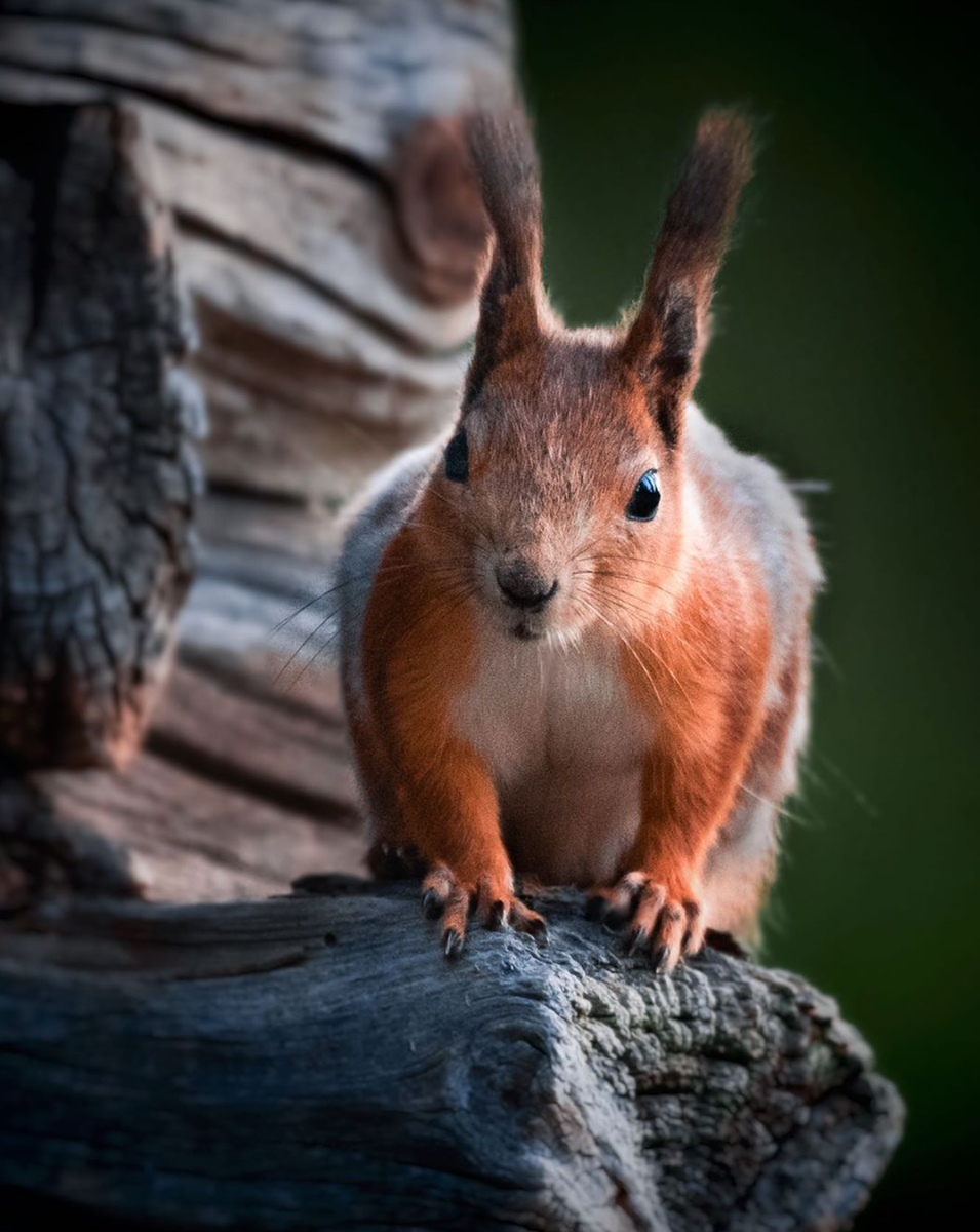 Photo of the Day: A red squirrel in Finland, by Kevin Kåla. If you would like your photo to be considered for Photo of the Day, use the hashtag #BBCWildlifePOTD. Find out more on our website: buff.ly/31Zztsk