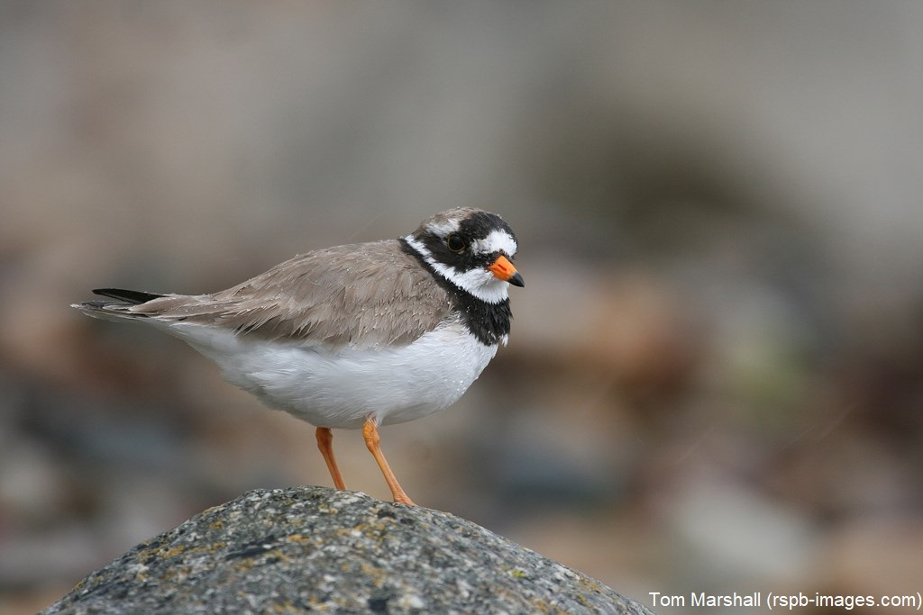 #TriviaTuesday Ringed Plovers have many regional names such as Sandy Lo, Sinloo and Ringedy. Many of our ringed plovers are here year-round but some pass through from as far away as Greenland and Canada on migration.