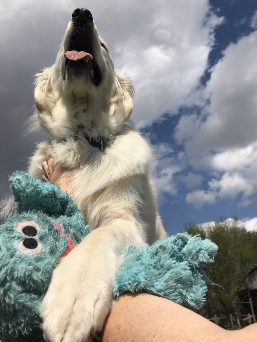 """Mr. Blue Octopus aka Mr. B is my fav play fren. Sometimes he gets """"tired"""" Mom says. He goes away for a few days and comes back all fluffy wrapped in plastic ready for adventures. It is like magic! Sometimes he brings other frens to play with too! #dogs #BestDayEver #tuesdayvibes https://t.co/vYVHIjPzb2"""