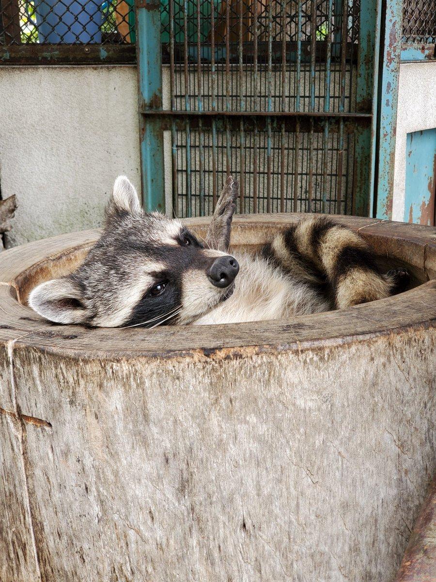 ごろ~ん、ごろ~ん( ゚ー゚)臼にぴったり。オト♂しっぽしましま~#アライグマ#須坂市動物園#須坂市