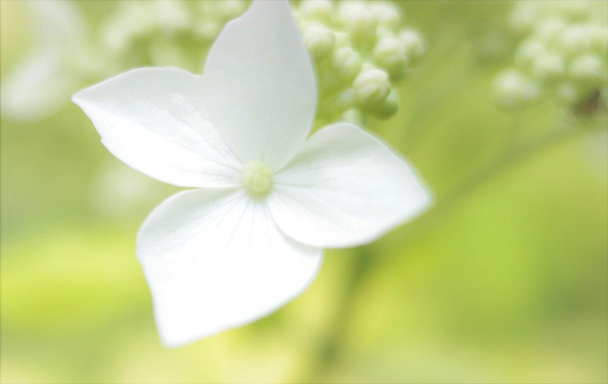 【みちのくあじさい園】みちのくあじさい園で撮った写真を編集中です😁できたらぜひ見てくださいね✨#みちのくあじさい園 #花 #flowers #花のある暮らし  #flower #hydrangea #花の写真 #花の写真館 #紫陽花 #あじさい