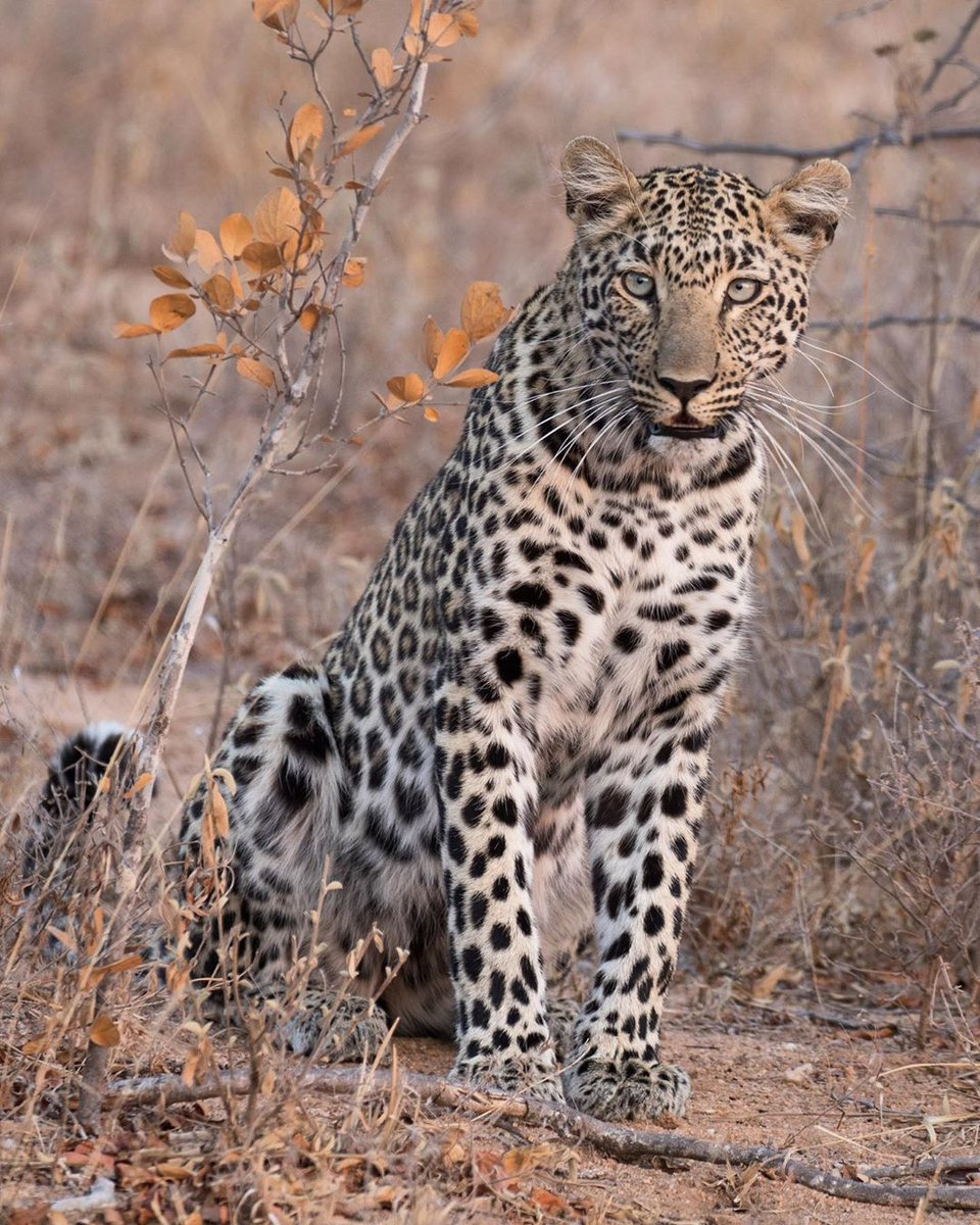 Have you ever noticed how long a leopard's whiskers are? They are noticeably longer than the whiskers of any of the other big cat species.   Sophie Barrett  http://www.garonga.com/  #Leopard #BigFive #Whiskers #BigCats #Safari #AfricanWildlife #SouthAfrica #MakalaliConservancy pic.twitter.com/0WeSGOj7Y7