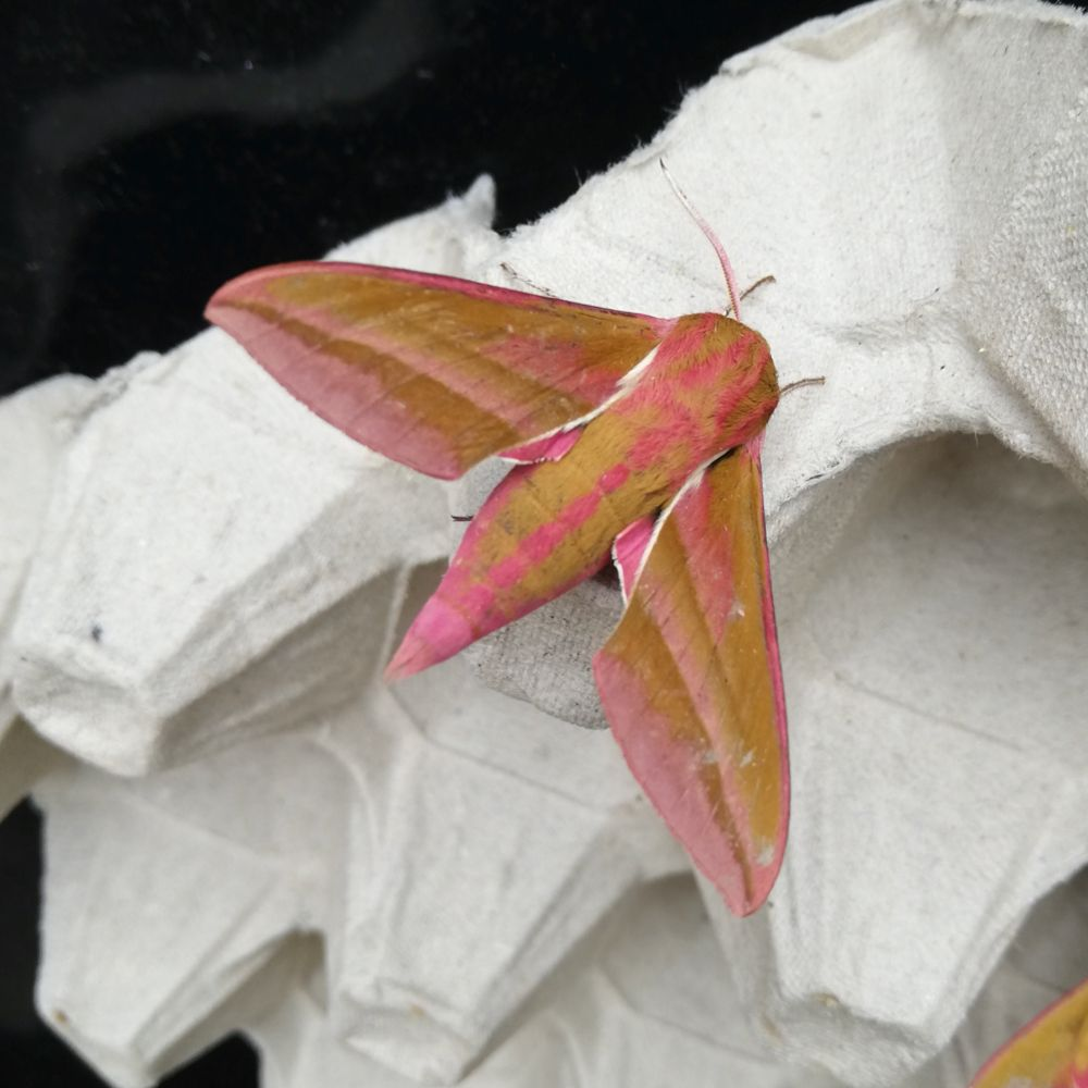 Its time to reveal this weeks #MondayMystery! It was ... an elephant hawk-moth! Congratulations if you guessed correctly! 📷 @MeganShersby