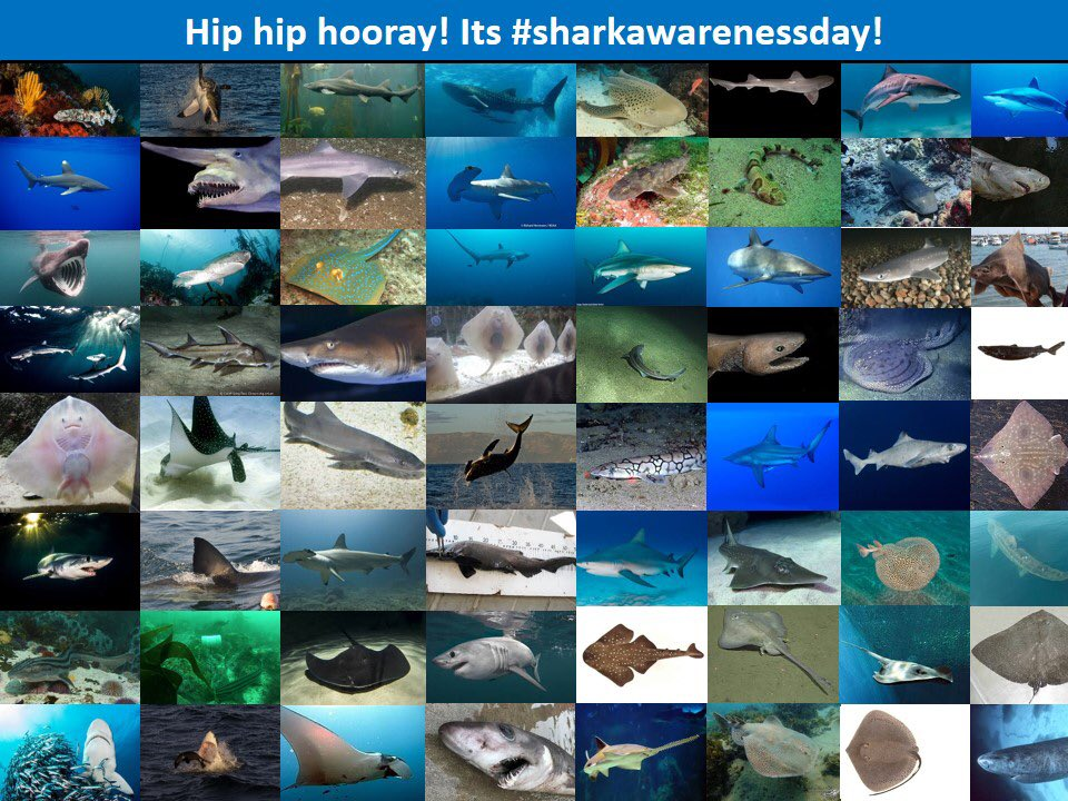 Who else thinks that every day should be #sharkawarenessday? South Africa has ~200 species of sharks and rays - making us one of the world's most diverse locations for these extraordinary predators. It also comes with tremendous responsibility to secure their future #conservation https://t.co/RoQkDSZvay