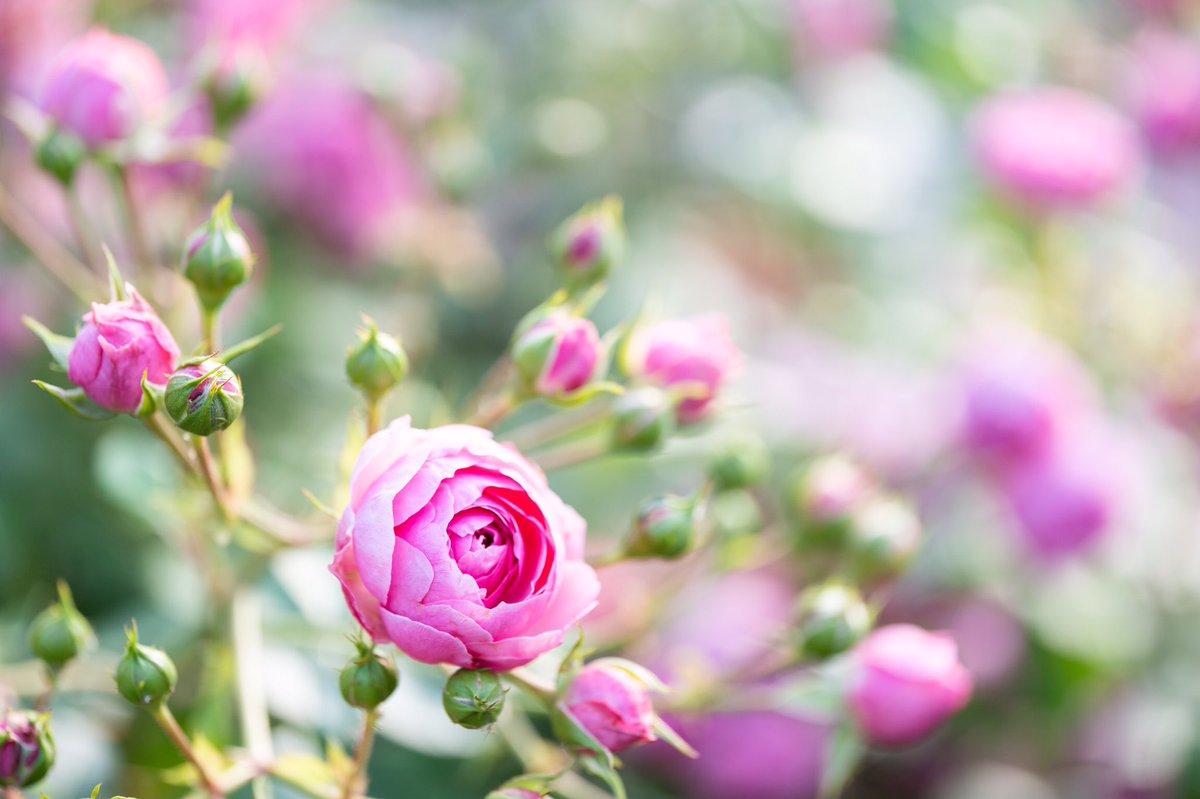 ピンクのバラ https://www.instagram.com/p/CCoCsFKnmwW/?igshid=e78jtgdie73g… #rose #Flowers #SonyAlpha pic.twitter.com/13YtZBXecp
