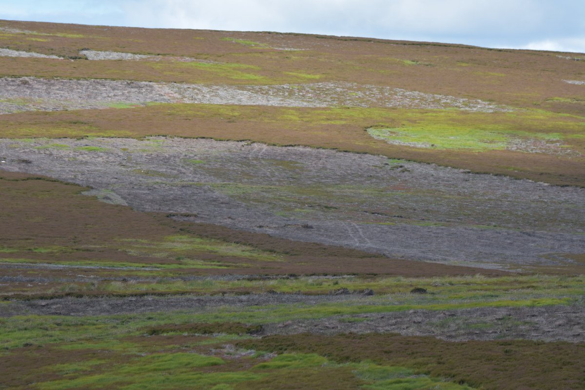 A depressing day walking across the intensive grouse farms covering swathes of the hills of the S of Scotland. No SE owls, kites or harriers; no mammals, apart from sheep; no trees. Just an overgrazed, over-burnt, over-managed, medicated relic of Victorias reign. Time for change