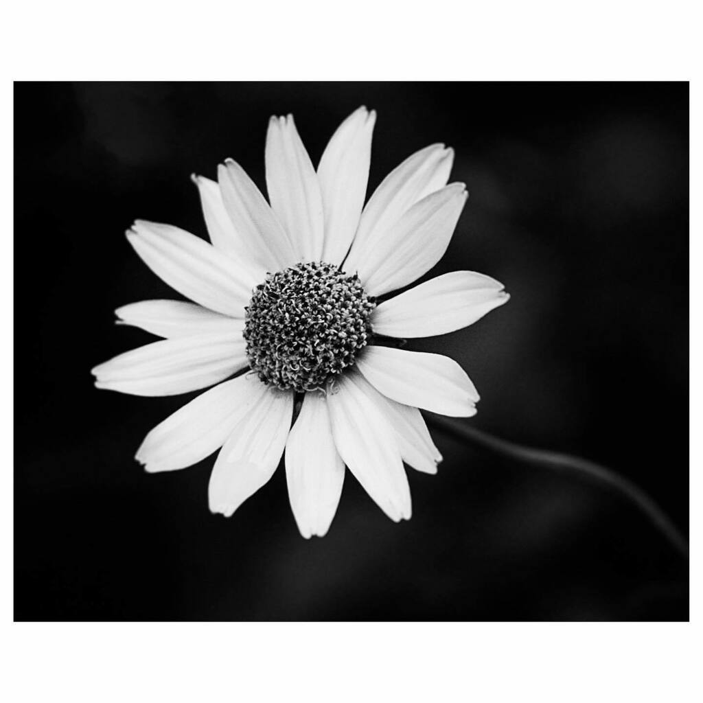 2020 arlophoto365 challenge 196/366 . . . . . . #panasonic #gx85 #panasonicgx85 #blackandwhite #blackandwhitephotography #b+w #bnw_greatshots #bnw_planet_2020 #winnipeg #manitoba #canada #flower #raining https://instagr.am/p/CCoQmvWA1I6/pic.twitter.com/QtwsNyuCoD