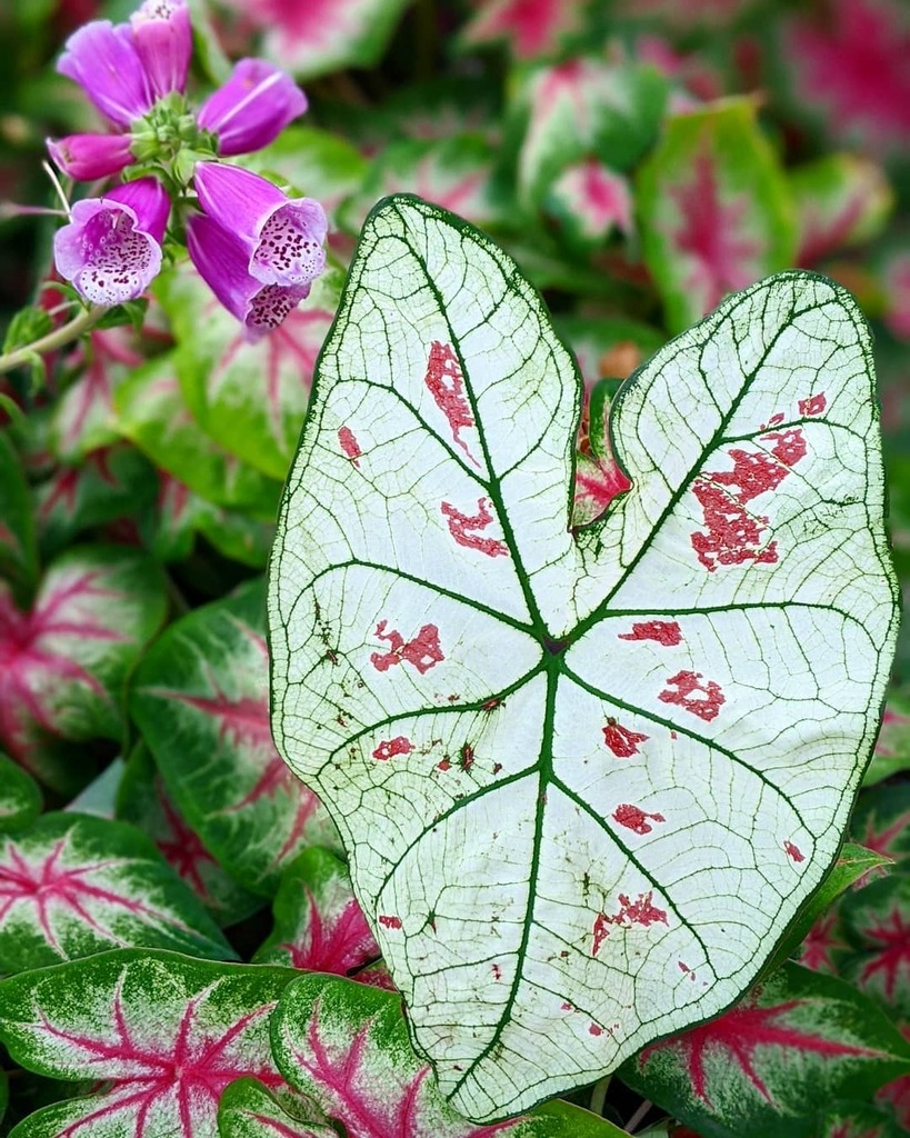 Caladiums are too pretty  #plants  #plant #plantsofinstagram #plantsmakepeoplehappy #plantmom #plantlover #urbanjunglebloggers #urbanjungle #aroidaddicts #aroid #aroidcollector #aroidsofinstagram  #plantpower #variegatedplants #gardening #garden #indoorg… https://instagr.am/p/CCoyV5vgei8/pic.twitter.com/Qi1zjrY6Qv