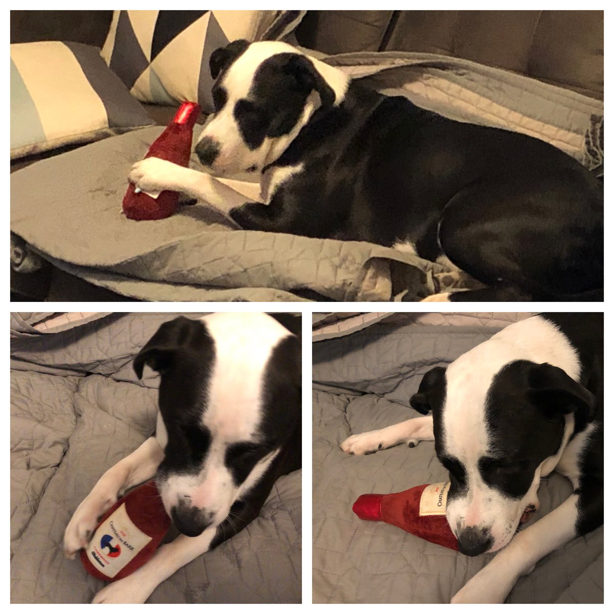 I didn't feel so good yesterday so I just kind of laid low. But today I made the choice to start drinking wine! I grabbed my bottle of #ChateauDuBark from #BarkBox @barkbox & went to town! I started feeling better! #Woof #GordoTheDog #BulladorLife (ITS JUST A TOY!)pic.twitter.com/QKex6ydMyA