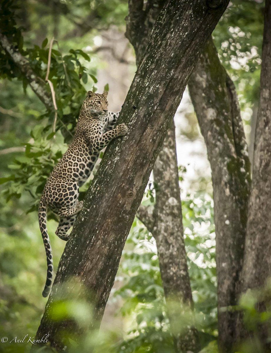 From the archives...Leopard #kabini #Karnataka #wildlifewednesday