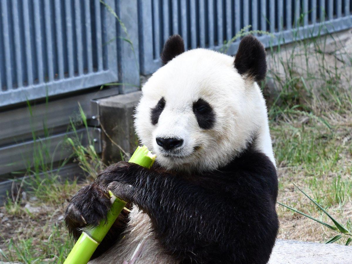 ジャイアントパンダ「タンタン」は2000年7月16日に王子動物園に来園しました。本日で来園して20年が経ちます。震災後の神戸を励まし、みんなに元気を与えてきてくれたタンタンに、改めて感謝したいと思います。#神戸市 #王子動物園#ジャイアントパンダ #タンタン#ありがとうタンタン