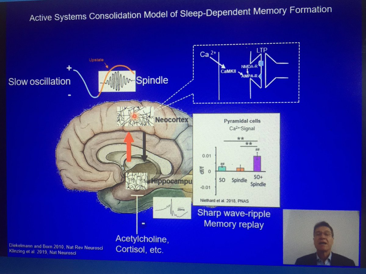 Great planary lecture by Jan Born #Fens2020 PL08  Memory formation during #sleep is a hippocampus-dependent process  The slow #oscillation/spindle complexe coordinates hippocampal #replay with synaptic #consolidation in neocortical #microcircuits.pic.twitter.com/wHE0dwIQkl
