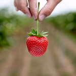 Image for the Tweet beginning: Standing near strawberries can help