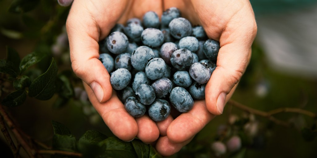 Its #NationalBlueberryMonth! Blueberries are considered a super food and have many health benefits. Not only are they tasty but are packed with antioxidants and are high in potassium and vitamin C. https://t.co/lOWAFHjErO