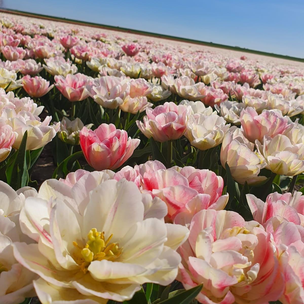 #Tulips  #Almere photo Michael Sluiterpic.twitter.com/DPcvAxx4hI