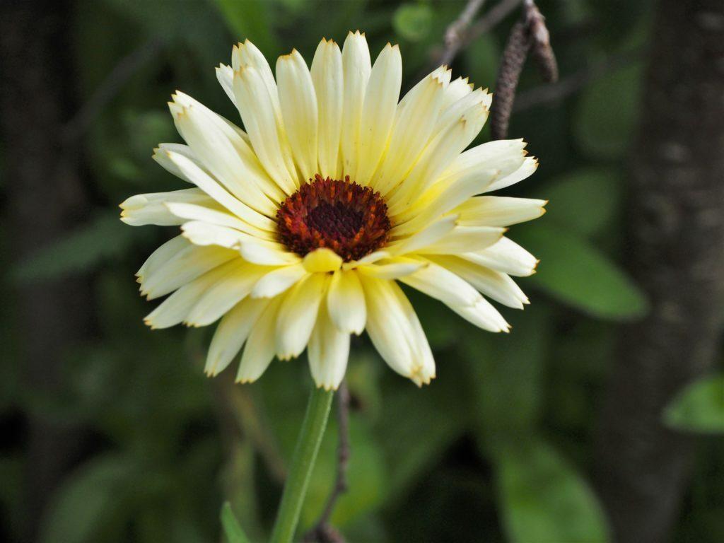 Pale yellow Calendula flower https://thoughtsofdawn.com/downloads/light-yellow-calendula/… #flower #photography #flowerphotographypic.twitter.com/Ft5denvPBE