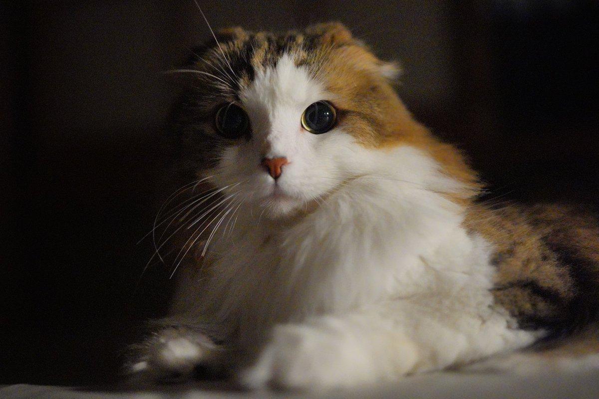 夜の猫  #猫 #スコティッシュフォールド https://t.co/6OR09BXJj7