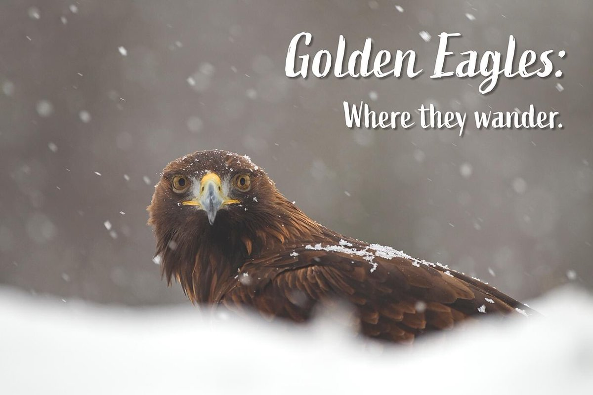 There are critics of fitting satellite tags to birds of prey and to some degree, I'm one of them. I do recognise however, the enormous value in the information this technology provides. Follow the fascinating story of WildLand's golden eagles. wildland-limited.maps.arcgis.com/apps/Cascade/i… #rewilding