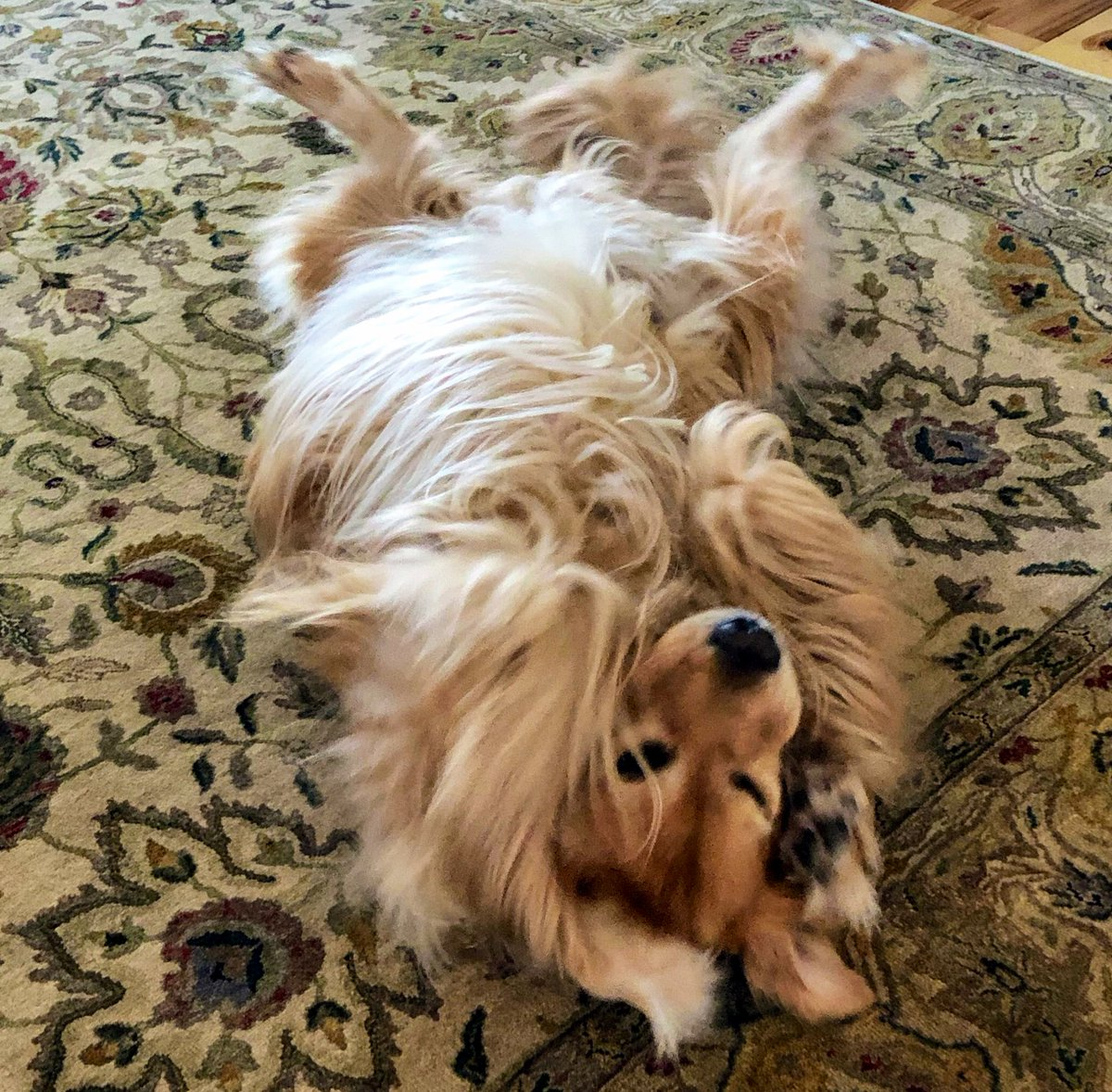 @GoldretrieverUS @WeeWalkingTours Tater hopes you like his fluff #fluffybuttfriday https://t.co/0B81OnB8ed