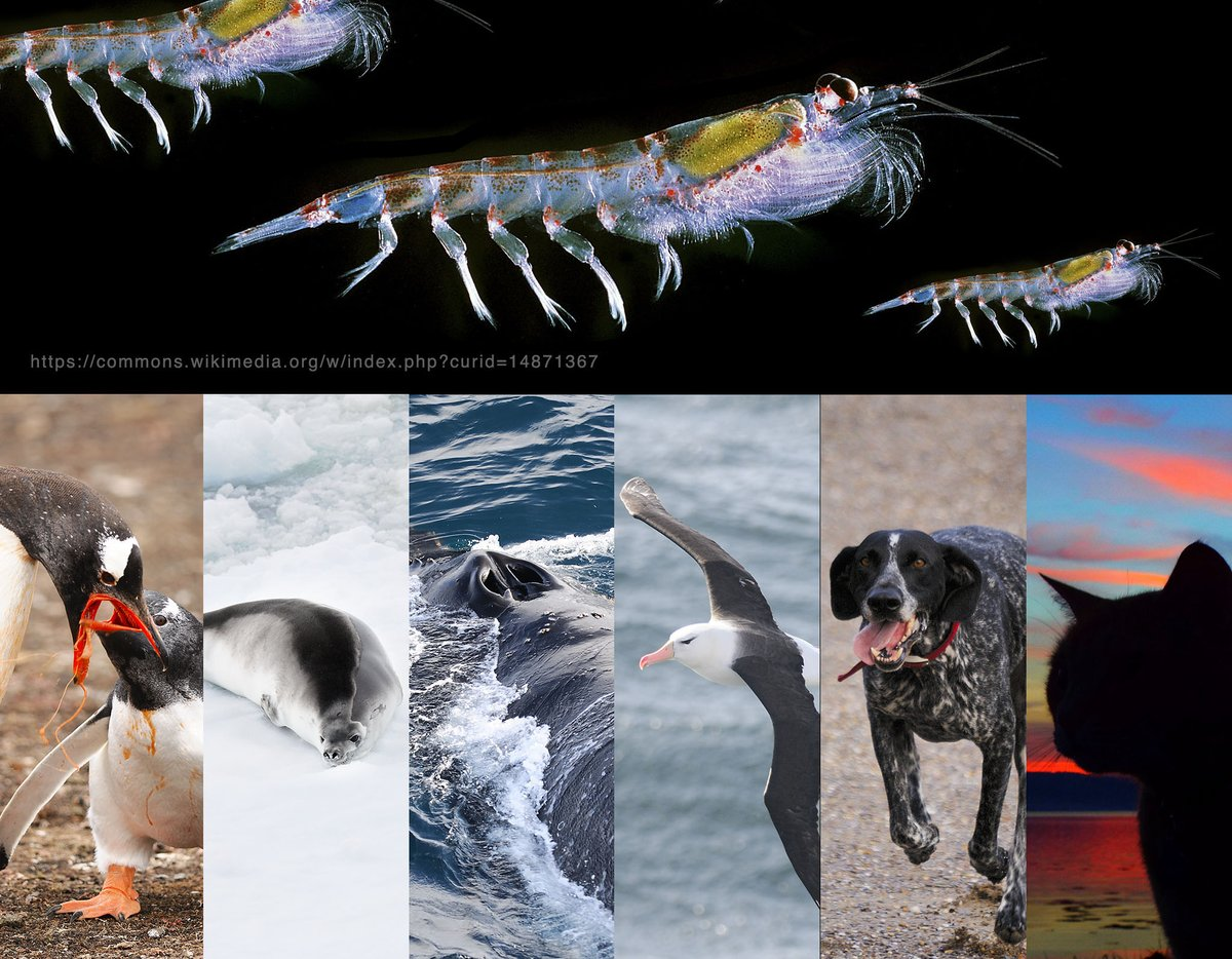 Are we barking mad? Krill are essential food for penguins, seals, whales and albatross. Now, weve introduced two new animals to this food chain to compete with Antarctic wildlife by catching krill to feed to our cats and dogs. qrillpet.com
