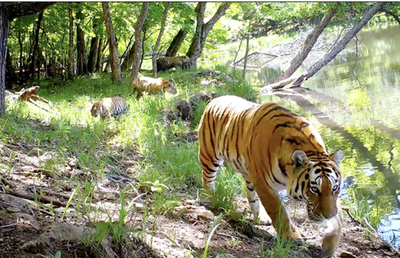 Gorgeous video of Amur tiger mum taking her triplets to the lake #tigers #water #wildlife via @siberian_times https://siberiantimes.com/other/others/news/busy-amur-tiger-mum-takes-her-triplets-for-splash-in-lake/…pic.twitter.com/zrHgzjDs5R