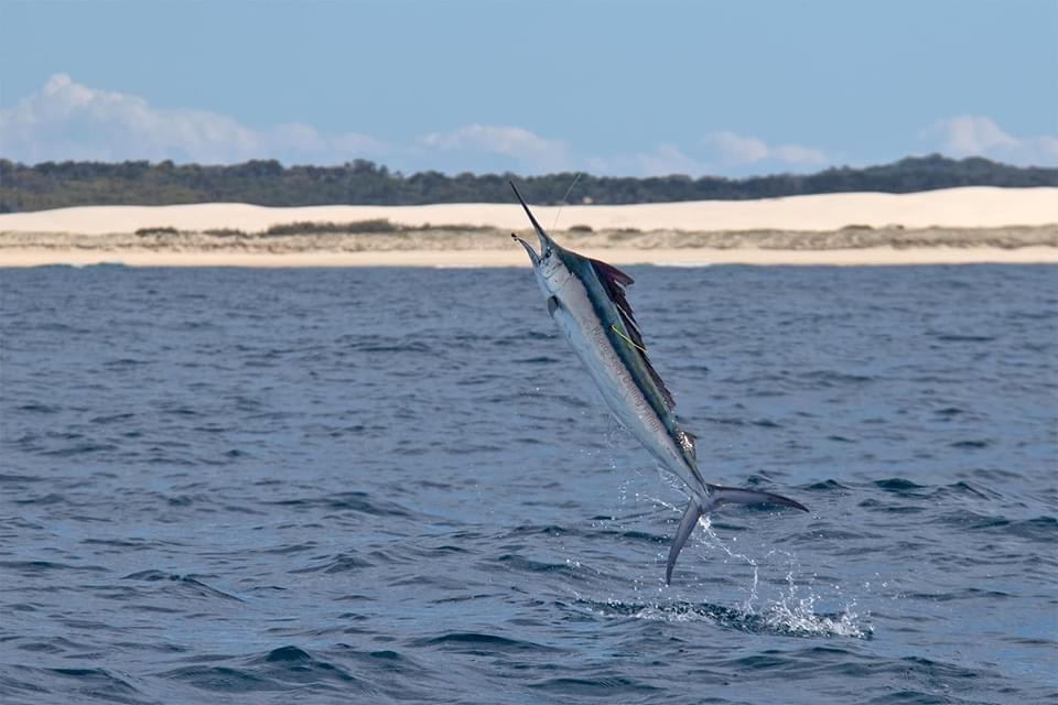 Fraser Island, Aus - The Fallons fishing on Reef Runner released 23 Black Marlin.