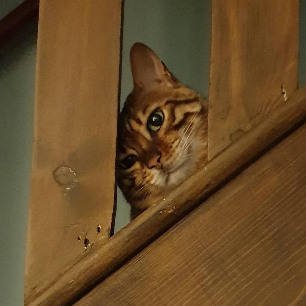 Peek a Boo! #cat #cats #catsofinstagram #catsofinsta #catsofig #catsoftheday #catsoftheweek #catsoftheworld #bengal #bengalcats #bengalsnation #bengalsofinsta #bengalsofig #bengalsofinstagram #caesarandcleopic.twitter.com/V4Juv14LjJ  by Sean Harry