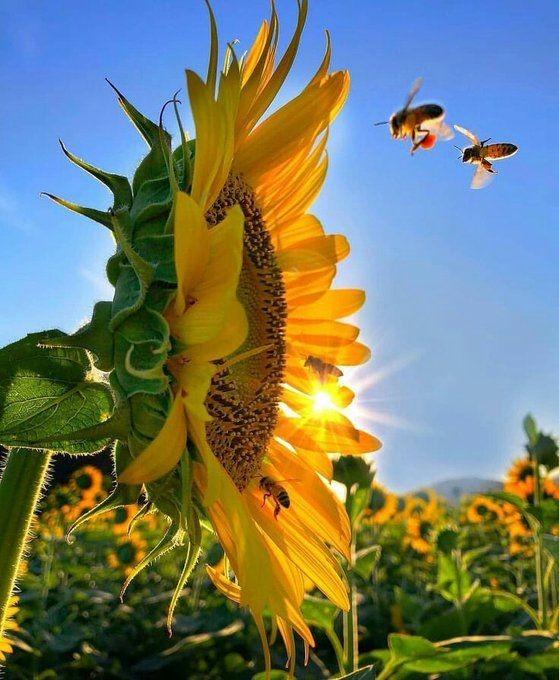 Good morning everyone.😊☀☀ #morning #sunrise #NaturePhotography #nature #bee #bees #Flowers #flower #Sunflowers