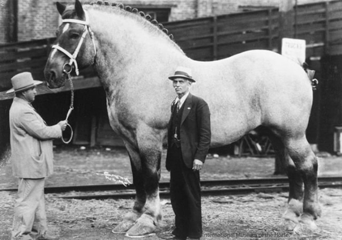 Brooklyn Supreme, one of the biggest horses in history, circa 1930. He was 6 ft 6 in (201 cm) and 3200 lbs (1451 kg). <br>http://pic.twitter.com/pm4EFjvoe5