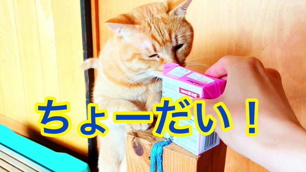誰か牛乳ちょうだいにゃ😻😻 #猫 #猫好き #猫好きさんと繋がりたい #猫動画 #かわいい動画 #癒し動画 #肉球 #猫のいる暮らし #猫のいる生活 #猫のいる幸せ #にゃんちゅーばー #牛乳 #ごはん #飲み物 #休憩 #おやつ #行儀 #作法 ↓YouTube  https://t.co/RBTBXl3jsz https://t.co/IsGoR9ivWA