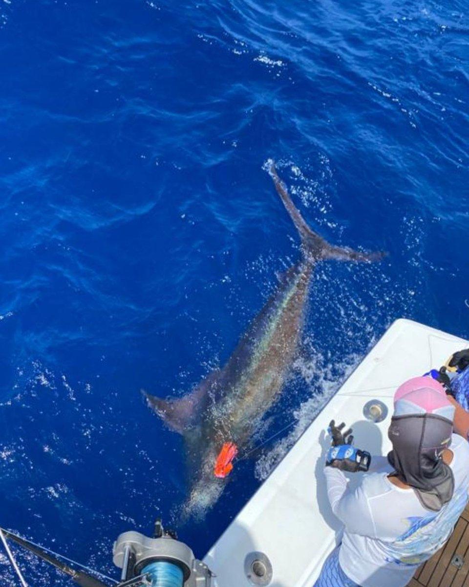San Juan, PR - M&M released a Blue Marlin and a White Marlin.