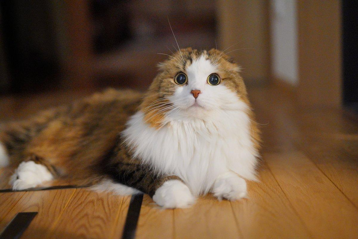 あら!かわいい♪  #猫 #スコティッシュフォールド https://t.co/w4pqQngImb