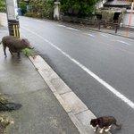 野生のイノシシと野良猫に遭遇!ちょっと状況に頭が追い付かない…