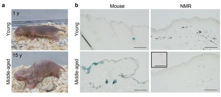 Senescent cell death as an aging resistance mechanism in naked mole-rat biorxiv.org/content/10.110…