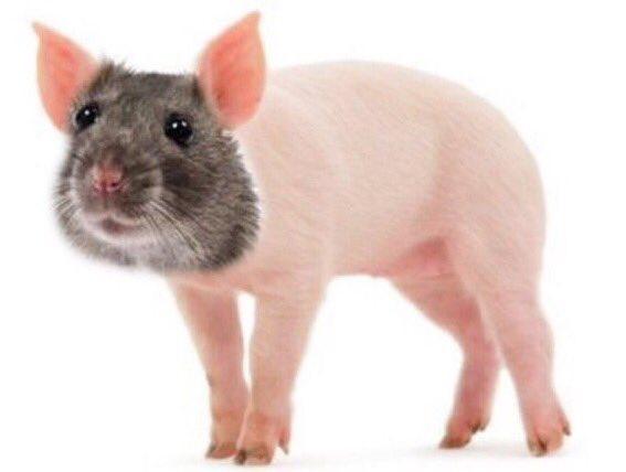 Rat porc pic.twitter.com/nzDDM823hZ  by Cl&ment 🦆🥃