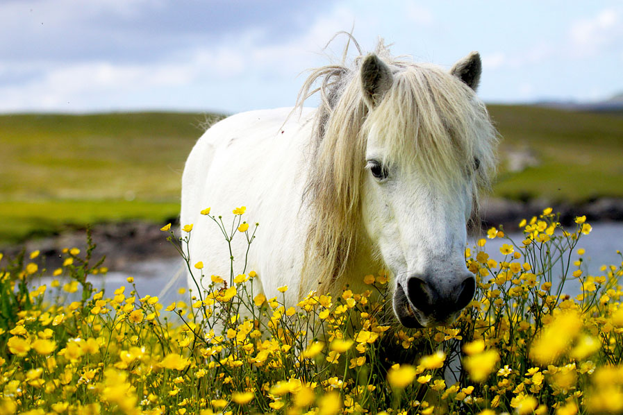 Its #NationalMeadowsDay - here in #Shetland many are presently fields of golden buttercups, but look closer and theyre bursting with biodiversity - full of myriad flowering plants, humming with bumblebees, and home to many ground-nesting birds. Oh, and a pony or two.